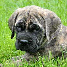 Willow - Brindle Female American Mastiff