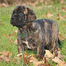 Rocky - Brindle Male American Mastiff