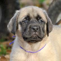Belle - Fawn Female American Mastiff