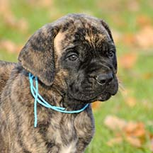 Luna - Brindle Female American Mastiff