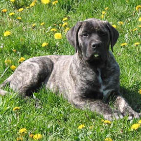 American Mastiff at 14 weeks old