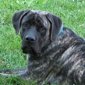 American Mastiffs at 6 months old