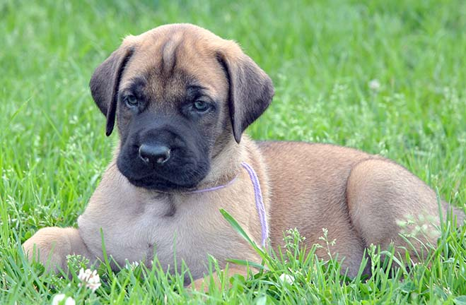 deepwood acres american mastiffs our puppies. Black Bedroom Furniture Sets. Home Design Ideas