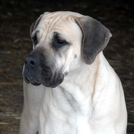 Deepwood Acres American Mastiffs American Mastiff Puppies For Sale