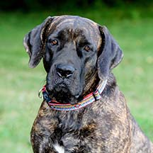 Tularosa - Brindle Female American Mastiff