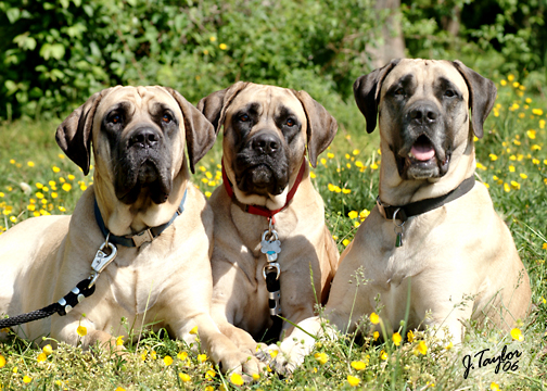 American Mastiff dog photos